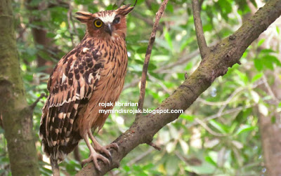 Buffy Fish Owl in Pasir Ris Park