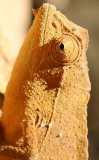 (A chameleon doing an impersonation of) Skrawl!