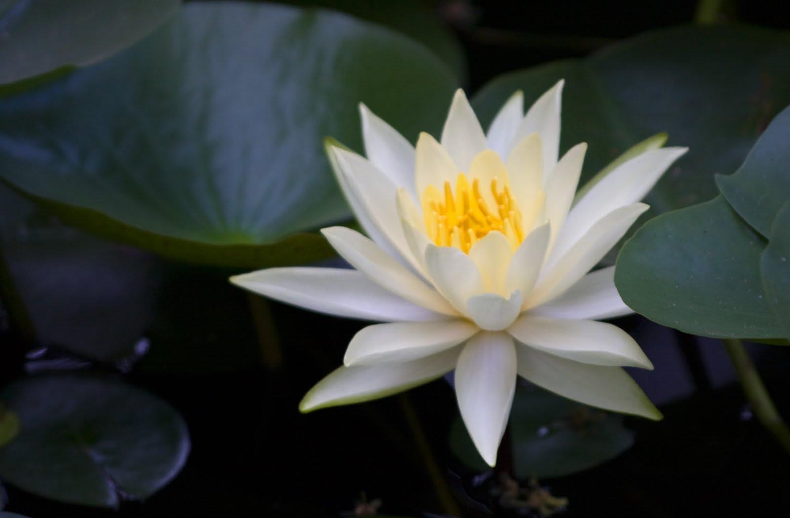 .: Flor de Loto blanca