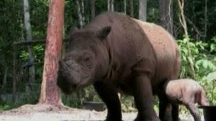 7 Badak Sumatra Teristimewa