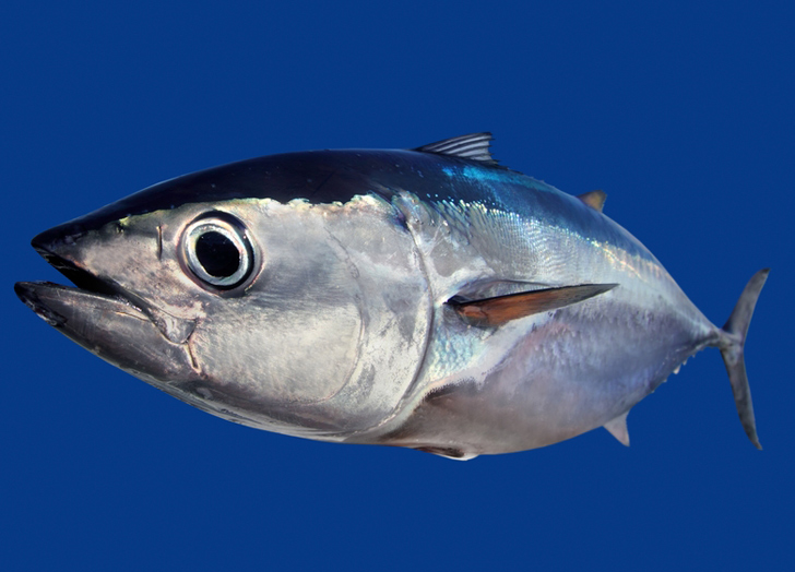 Bluefin tuna the life of animals for Tuna fish can