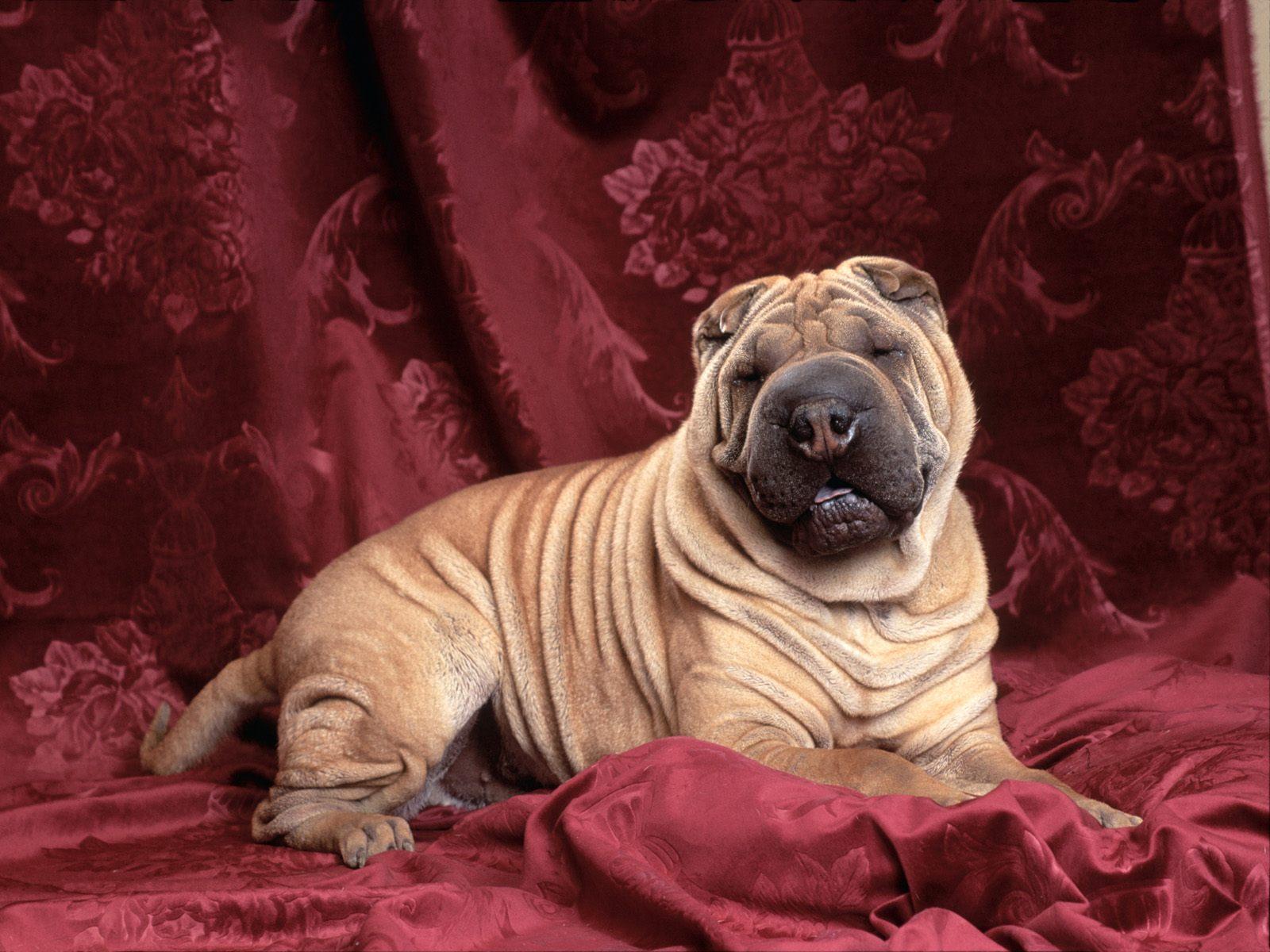 http://1.bp.blogspot.com/-rRej5qVw0hc/Th8Op3F8luI/AAAAAAAAAFY/5sK5Bz-94dk/s1600/Shar+Pei+Dogs+Wallpapers+4.jpg