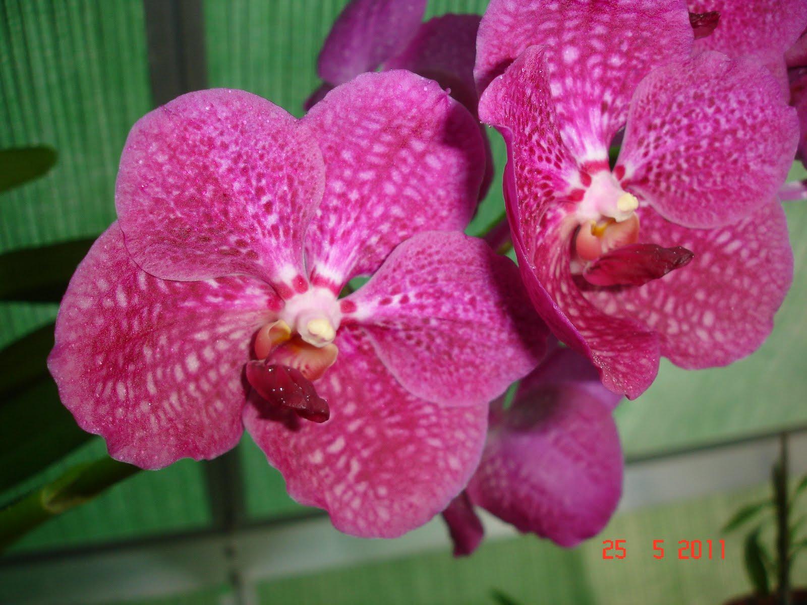 Esta vanda todos os anos dá flor, este ano com mais inflorescências