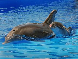 mãe e bebê golfinhos