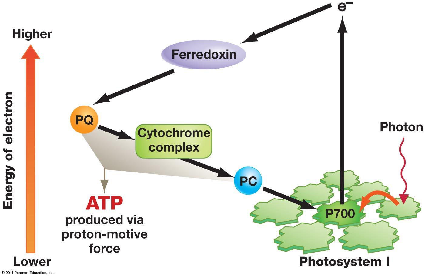 Productos de la fotofosforilacion no ciclica 45