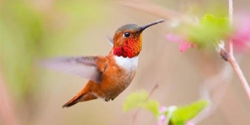 Os 10 menores pássaros do mundo