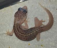 PA-Gecko-Total-Eclipse