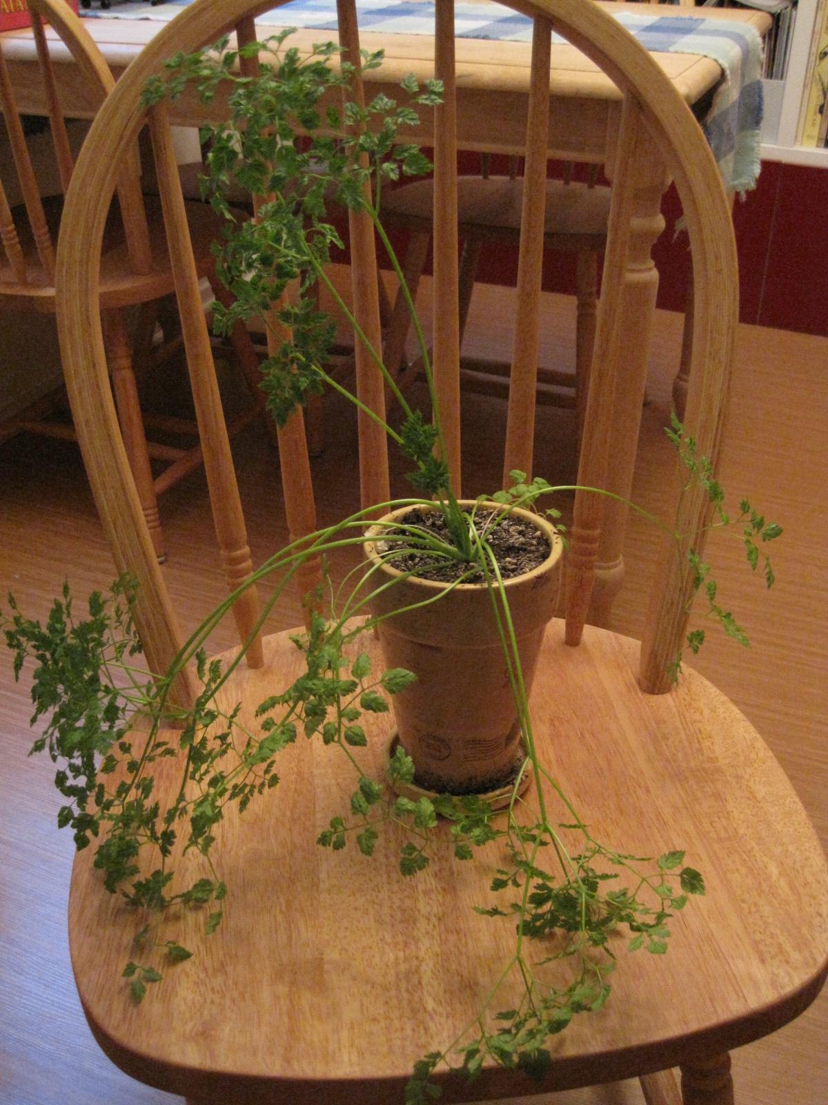 Parsnip Love: Window Sill Herbs