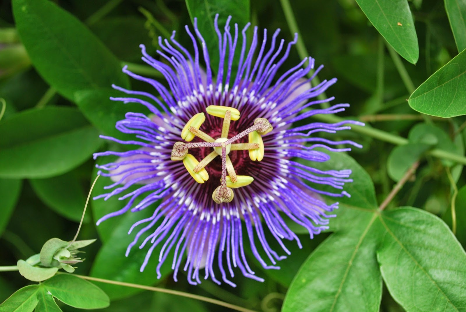 Benefits Passion Flower Passiflora Incarnata For Health