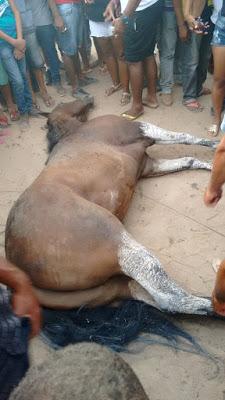 Cavalo avaliado em 600 mil morre após vencer corrida em Novo Paraíso de Jacobina