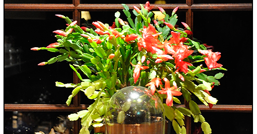 growing with plants how to get a christmas cactus to bloom on time. Black Bedroom Furniture Sets. Home Design Ideas