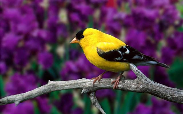 Pajarito Amarillo Imagenes de Aves Exóticas