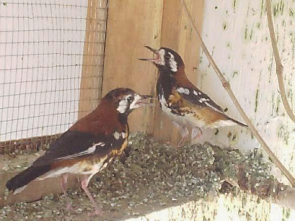 Foto Burung Anis Cendana Jantan