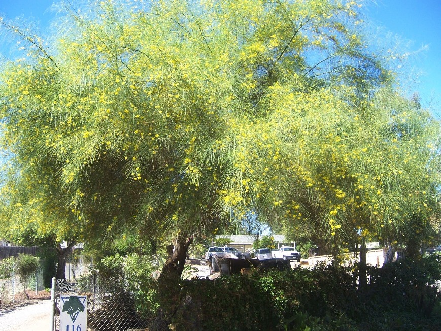 Photo - Mexican Palo Verde Tree (Parkinsonia aculeata) | The 2 ...