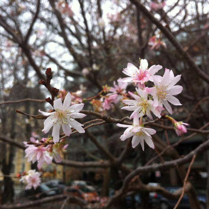 Cherry Blossom in December