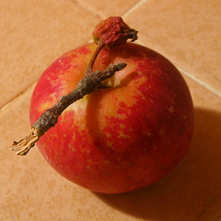 Apple with Branch and Mini-Apple Attached