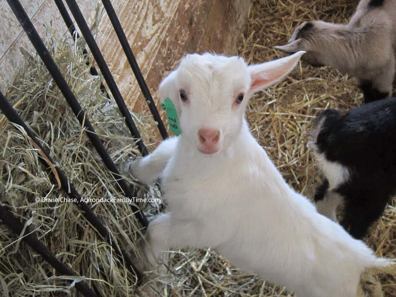 Asgaard Farm and Dairy baby goats, doelings and bucklings