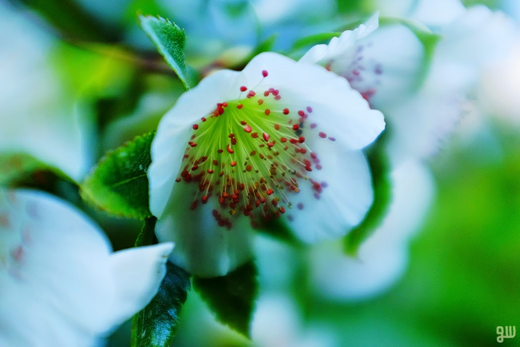 Eucryphia - ©2015 Graeme Walker-Garden Photography,Plants,Geology,Creatures
