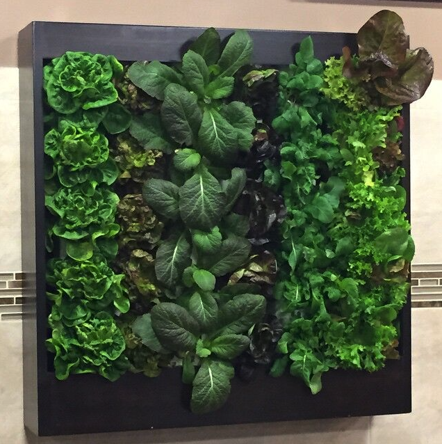 indoor vertical hydroponic gardens are used yearround by renaissance orlando to grow lettuces greens and herbs for use in the hotelu0027s dinners and