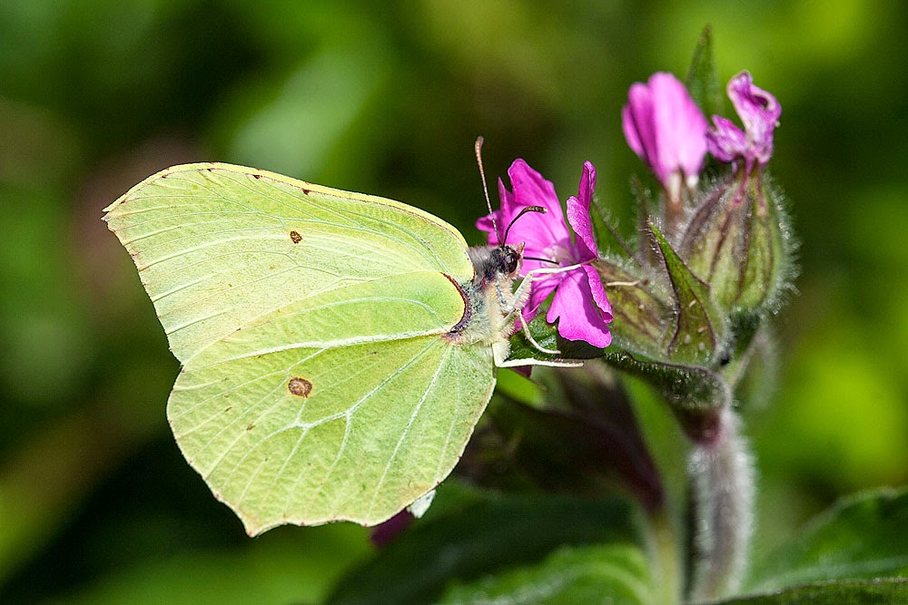 Brimstone (Male) - Loughton Valley Park, Milton Keynes