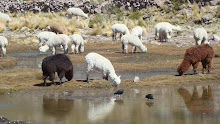 Alpacas in the wild