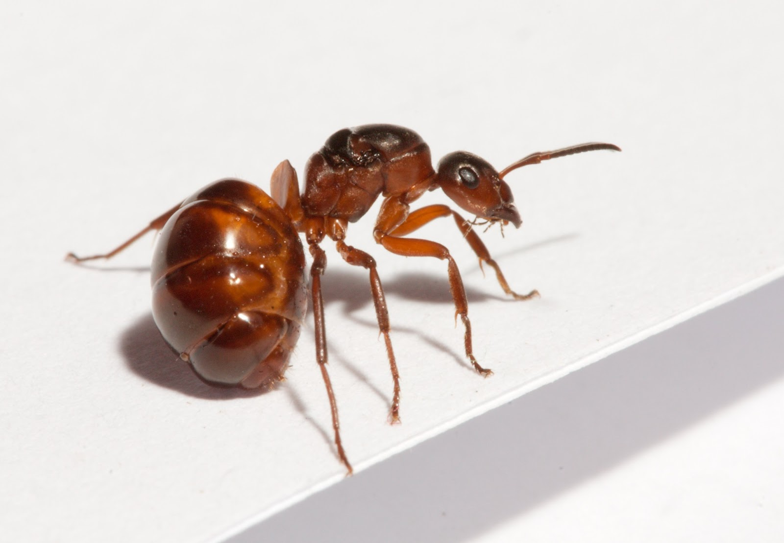 Species of UK: Week 20: Wood ants ('Formica rufa' group)