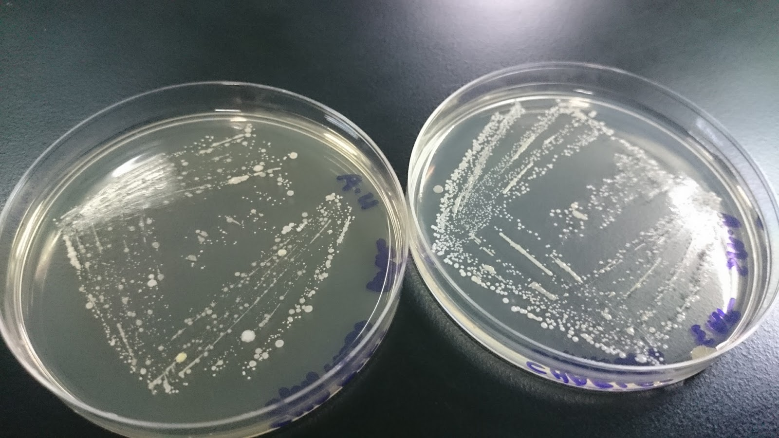 bacterial morphology lab reports Lab report of microbiology download the bacterial suspension is pour on the agar, and then spread evenly over the surface with a sterile glass rod.