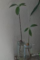 Projekt X - Avocado vom Kern zur Pflanze