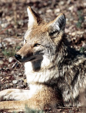 Eastern Coyote Presentation on Tuesday, May 19, 2015