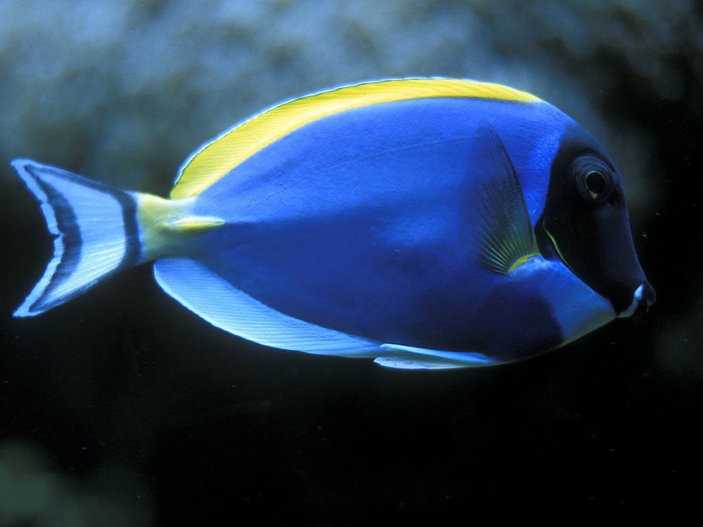 Fish wallpaper pack 1 1024x768 all entry wallpapers for Blue piscine hannut