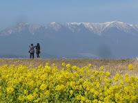 絵になる風景、菜の花畑と比良山。