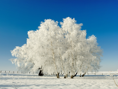 Snowy Trees Wallpaper Hd The snow on the tree ~ hits