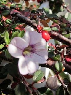 Die Zwergmispel (Cotoneaster) gehört zu den winterharten Balkonpflanzen