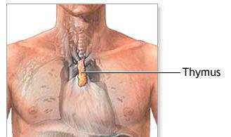 Timo, Thymus, glandula timo, chacra cardiaco e o timo, timo no peito