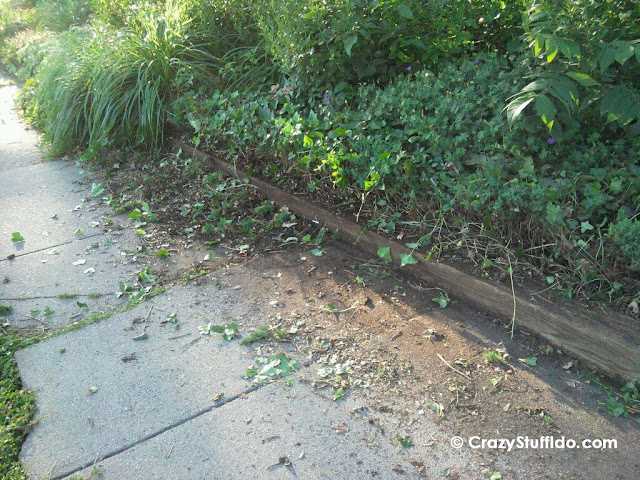 Plants gone wild - My sidewalk was really 5 ft wide, not 3!  The ivy just above the planter along with the creeping juniper that it covered and intertwined with was extended out into the sidewalk where the dirt marks are.  Wow.