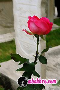 bunga mawar untuk mama