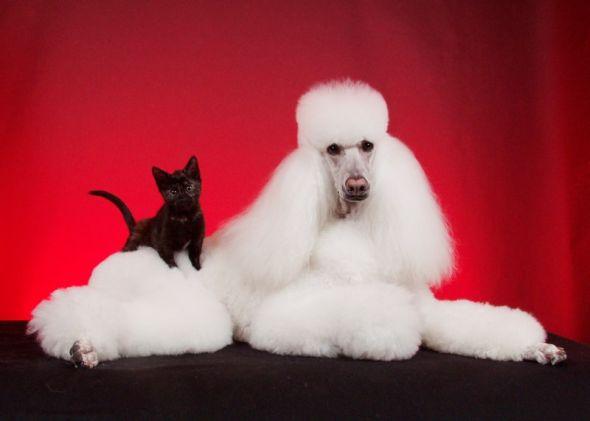 Ren Netherland fotografia animais de estimação meigo amigos gatos cachorros juntos