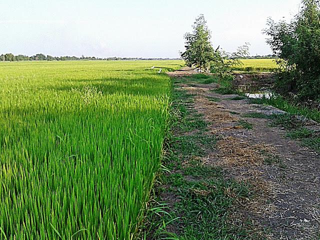 บนทางเดินท้องร่อง ทุ่งนาไทย กับต้นข้าว