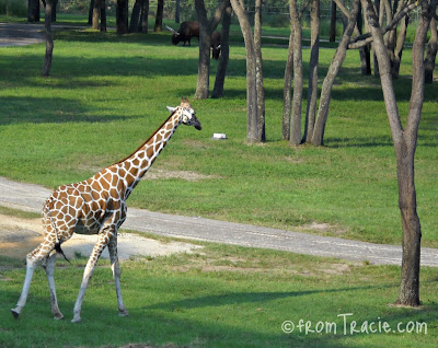Giraffe at Animal Kingdom Resort