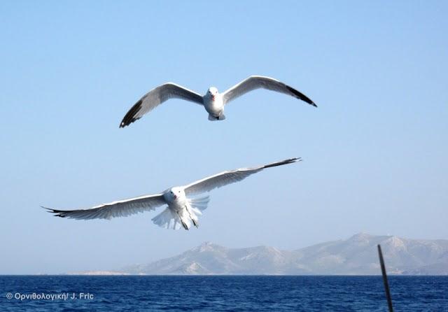"""""""Ταξιδεύοντας στο Αιγαίο με τα θαλασσοπούλια"""" Συνεργασία Ελληνικής Ορνιθολογικής Εταιρείας και ΑTTICA GROUP για τα θαλασσοπούλια"""