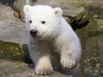 #21 Polar Bear Wallpaper