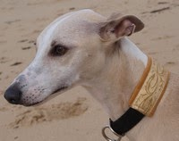 Whippet-elevage.com ELEVAGE FAMILIAL DE WHIPPETS …