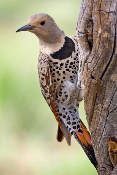 Flickers are large, distinctive woodpeckers ...