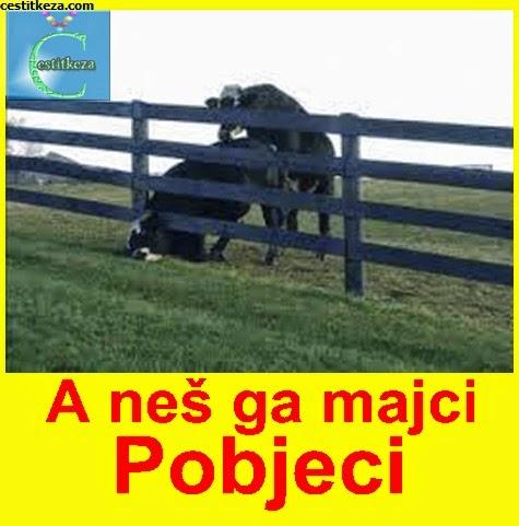 nevolje jedne krave