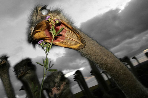 Funny Ostrich Picture