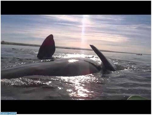 Video Gempar Kayak Ini Diangkat ke Atas Air Oleh Ikan Paus Gergasi