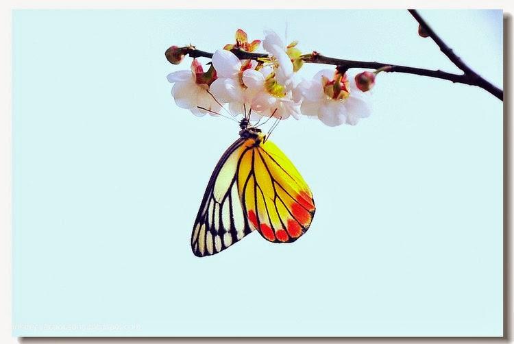Con bướm xuân 4