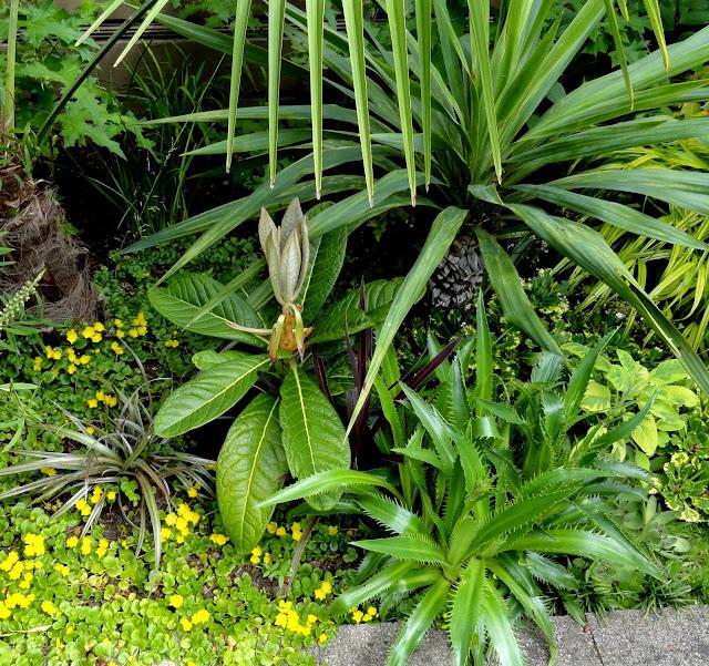 danger garden rhododendron sinogrande my favorite plant. Black Bedroom Furniture Sets. Home Design Ideas