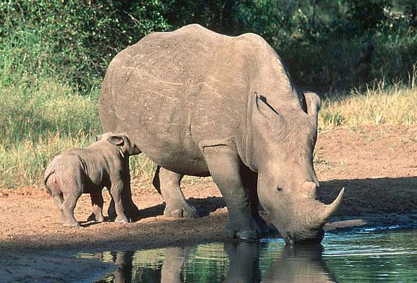 Kricpy Save Rhinos