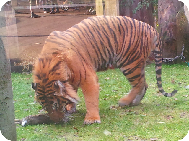 tiger eating rabbit, tiger dinner time, london zoo tiger
